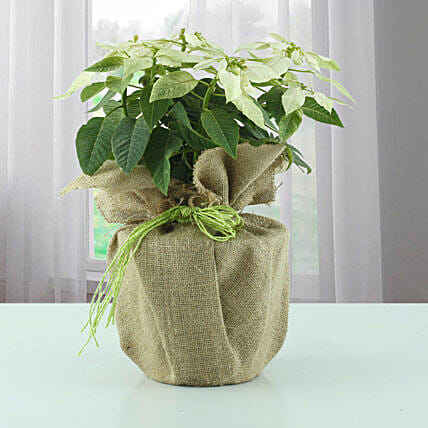 White Poinsettia plant in a pot