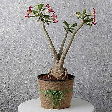 online rose bonsai