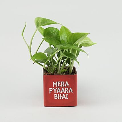money plant in printed pot online