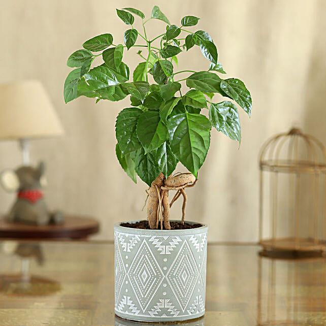 Radermachera Plant In Green Pipe Shape Pot:Plant New Arrivals