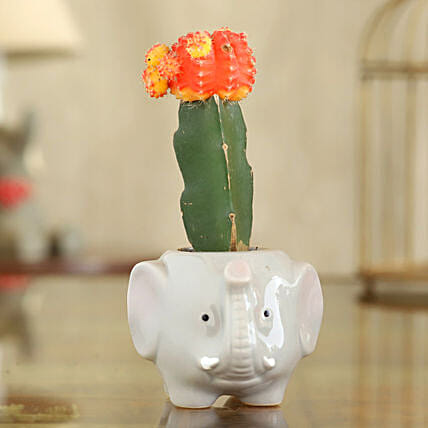 Red Moon Cactus Plant In Elephant Shape Pot