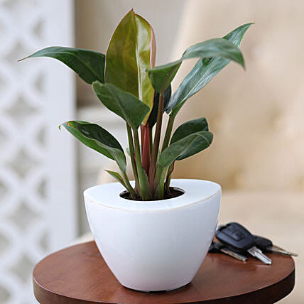 Online Red Philodendron