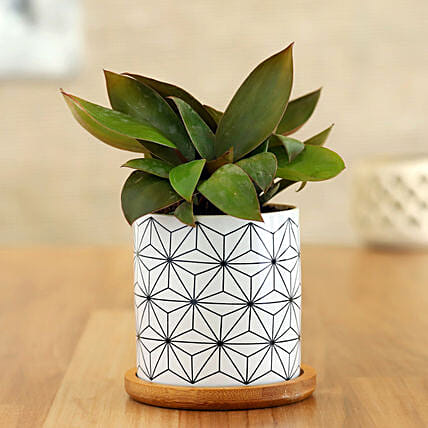 Red Philodendron Plant In White Wooden Plate Pot