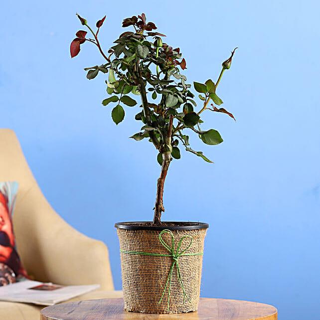 Red Rose Plant In Black Plastic Pot:Rose Plants