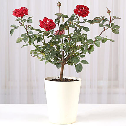 Rose Pot Plant Online