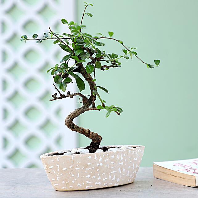 Online S Shaped Ficus Plant