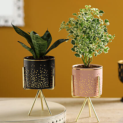 Sansevieria & Aralia Plants Set In Ceramic Pots