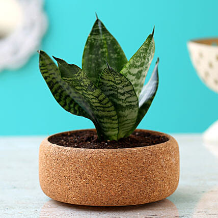 Sansevieria Green Plant In Round Cork Planter