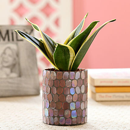 Plant with Decorative Pot Online