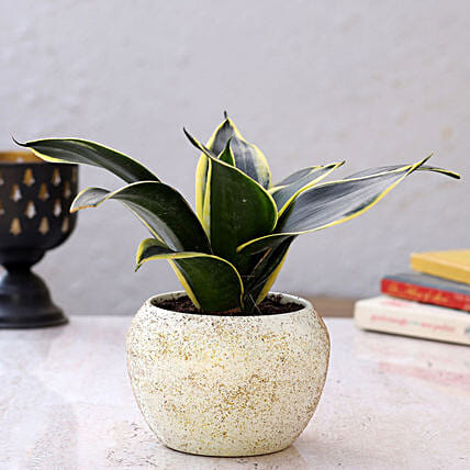 Sanseveria Plant in Home Décor Pot