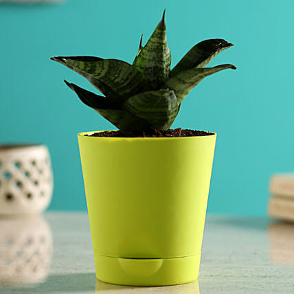 Sansevieria Plant In Self-Watering Green Pot