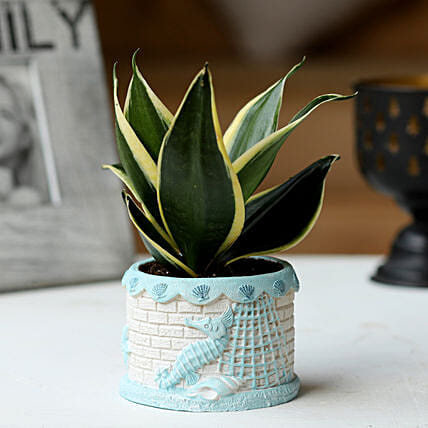 Sansevieria Plant in Ship Pot