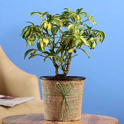 Schefflera Bonsai Plant In Black Nursery Plant