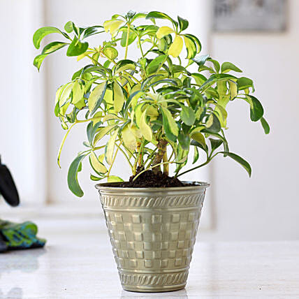 Schefflera Bonsai Plant In Brass Pot