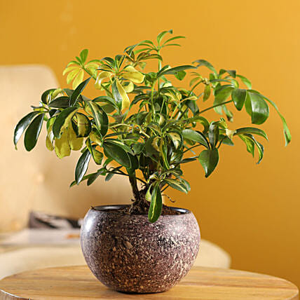 Schefflera Bonsai Plant In Stone Finish Metal Pot