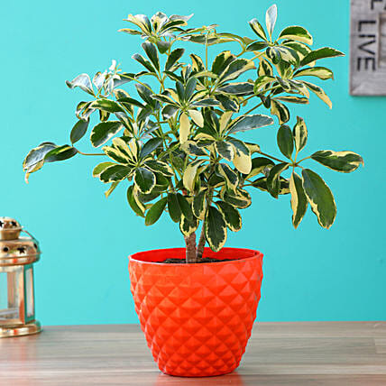 Schefflera Bonsai Plant With Kohinoor Plastic Pot