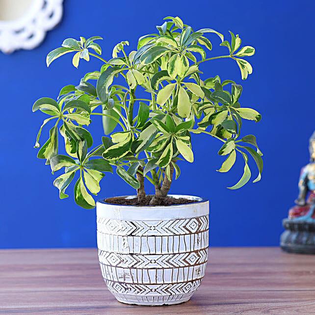 Schefflera Plant In Tribal Art Pot