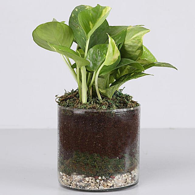 golden money plant in glass terrarium