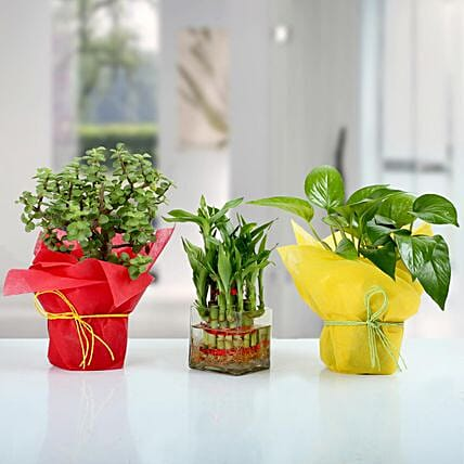Set Of 3 Lucky Plants Online:Potted Plants