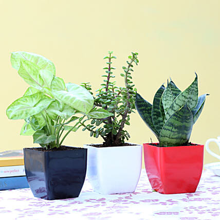 Combo of 3 Indoor Plants Online