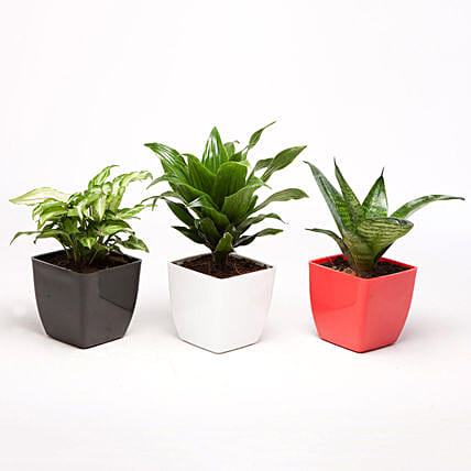 Combo of 3 Indoor Plants Online:Outdoor Plants