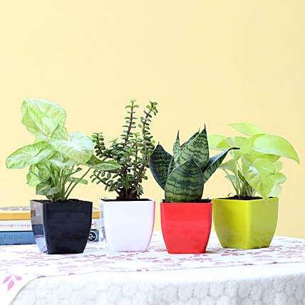 Combo of 4 Indoor Plants Online:Spiritual and Vastu Plants