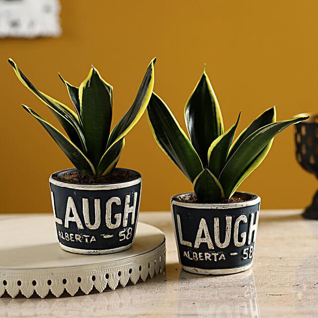 Set of Sansevieria Plants In Ceramic Laugh Pots