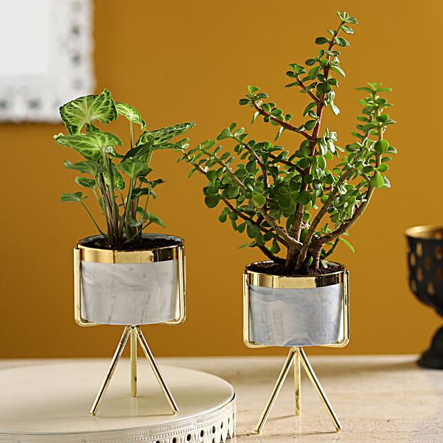 Set of Syngonium & Ficus Compacta In Ceramic Pots:Send Spiritual Vastu Plant