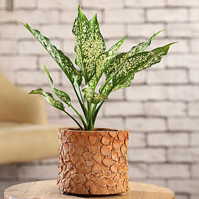 Silver Aglaonema Plant In Patch Design Terracotta Pot