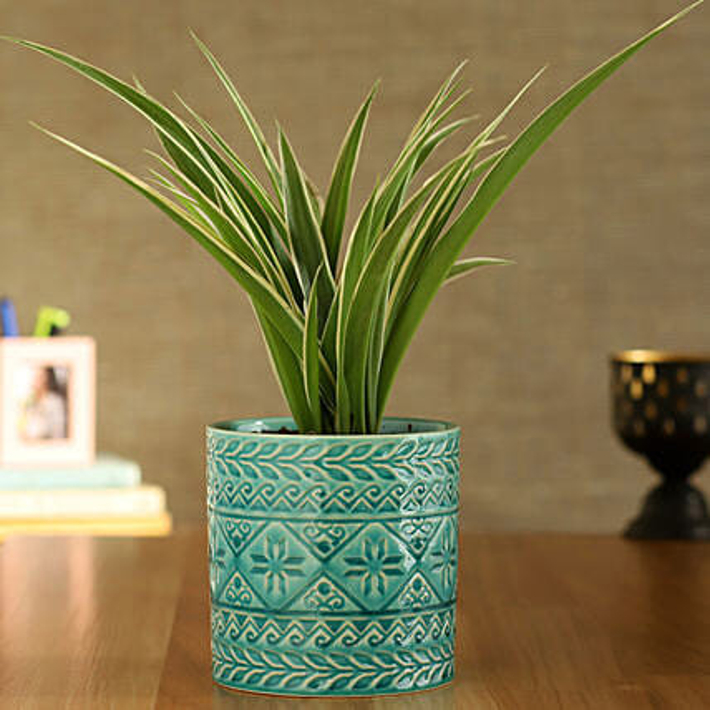 Spider Plant In Green Pipe Shape Ceramic Pot
