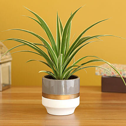 Spider Plant In Grey White Ceramic Planter