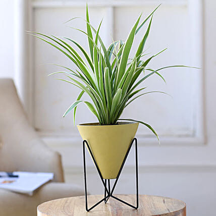 Spider Plant In Yellow Triangular Pot With Stand