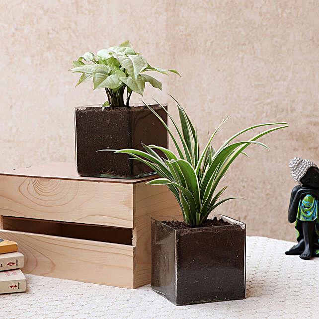 Online Syngonium Plant Combo