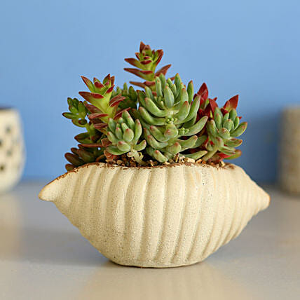 Shell Pot with Dish Garden Plants Online