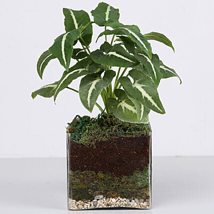 attracitve syngonium plant in terrarium vase:Terrariums Plants