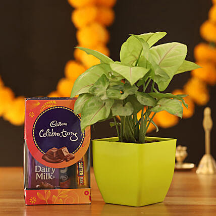 Syngonium Plant & Cadbury Celebrations Box