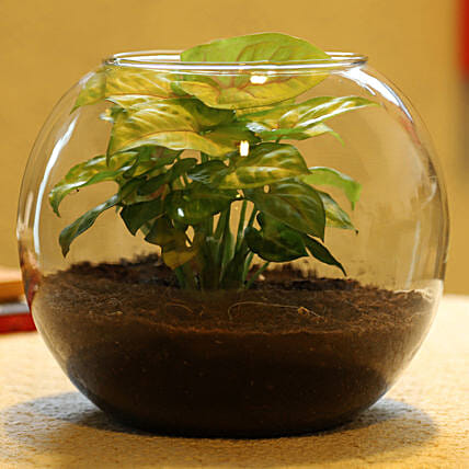 online plant in glass vase:Terrariums Plants