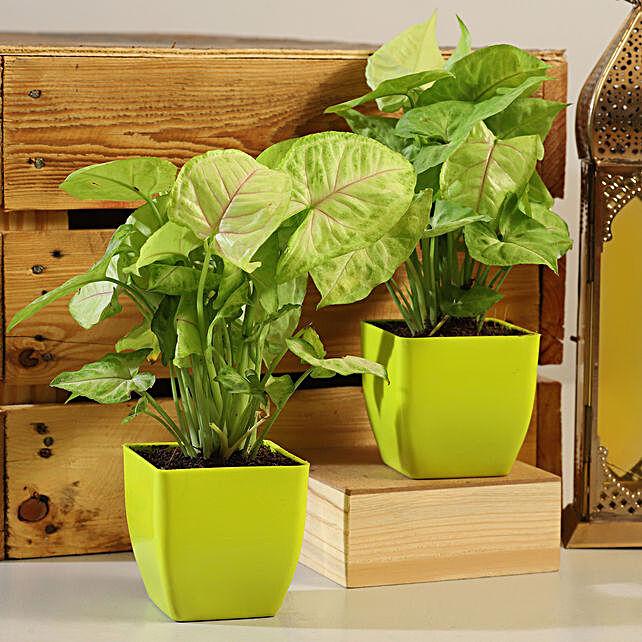 Syngonium Plant Green Pot Combo