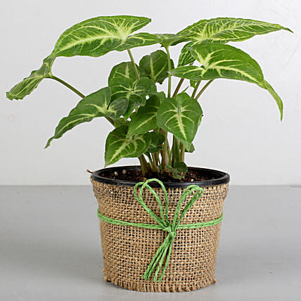 Plant with black pot  for valentine:Tropical Plants