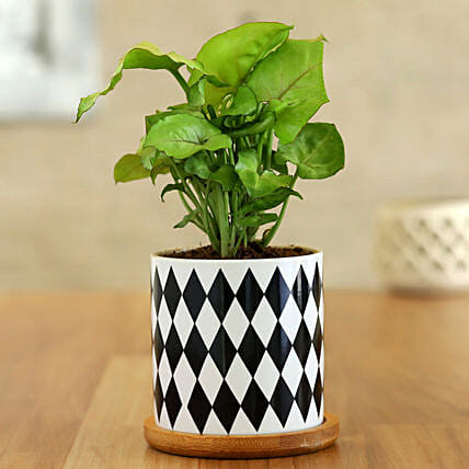 Syngonium Plant In Chess Pattern Wooden Plate Pot