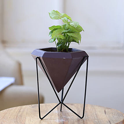 Syngonium Plant In Conical Pot With Stand
