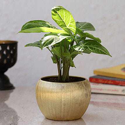 Syngoneria Plant in Home Décor Pot