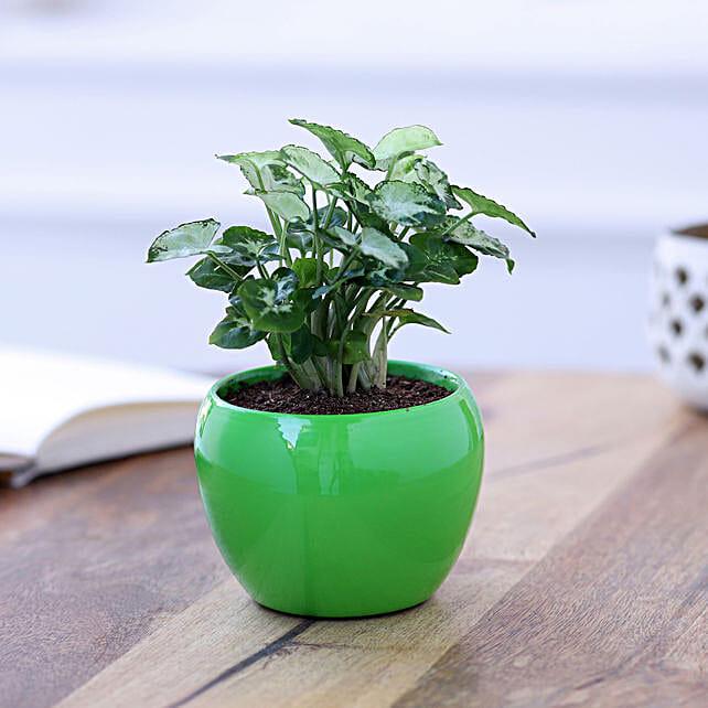 syngonium plant in metal pot online