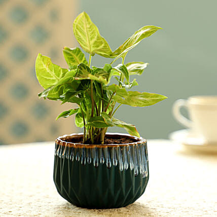Syngonium Plant In Green Pot