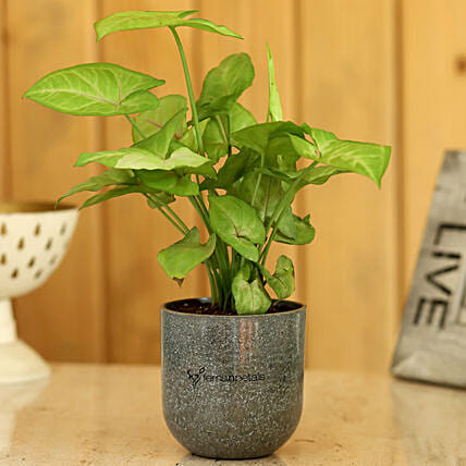 Plant In Beautiful Pot Online:Gifts Delivery
