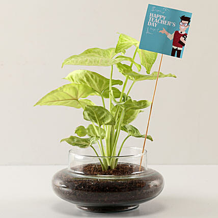Online Syngonium Plant For Teachers Day