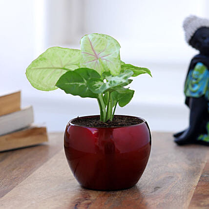 Syngonium Plant In Red Metal Pot Hand Delivery:Air Purifying Plants