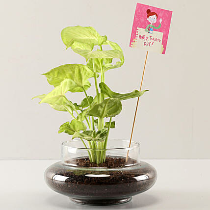 Syngonium Plant For Teachers Day Online
