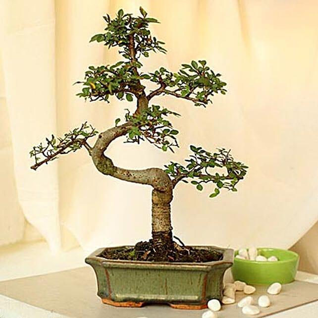 Elm s shaped bonsai plant with ceramic vase