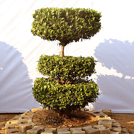 Outdoor Bonsai Plant Online